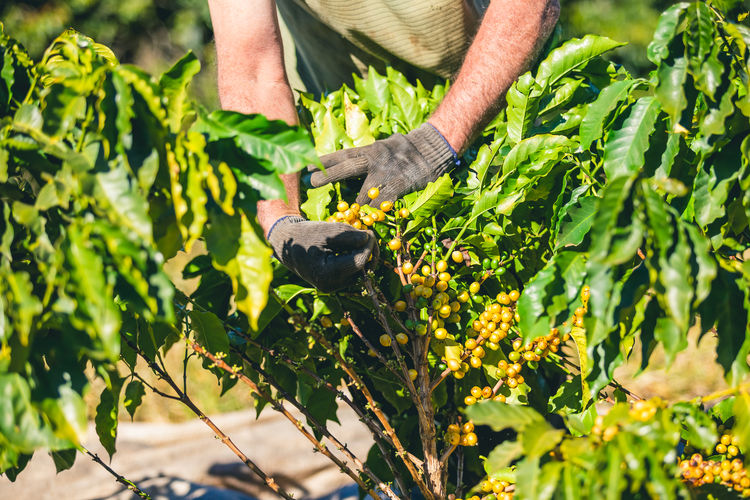 Coffee, coffee plantation, coffee drying, coffee beans