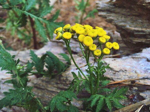 Flower Tanacetum Vulgare Tansy пижма