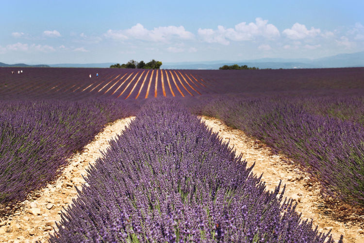 Agriculture Beauty In Nature Cloud - Sky Day Environment Farm Field Flower Flowering Plant Geometry Pattern Growth Land Landscape Lavender Nature Outdoors Plant Purple Rural Scene Scenics - Nature Sky Tranquil Scene Tranquility