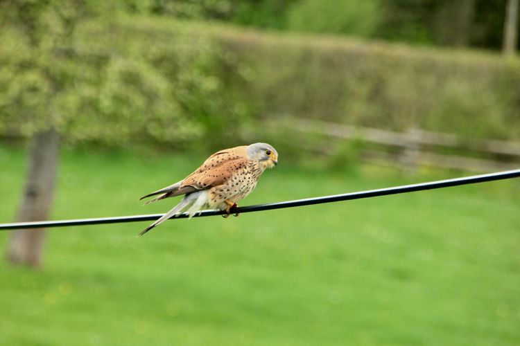 Common Krestel Selective Focus Falcon Bird Falcon Outdoors Green Color Focus On Foreground Animals In The Wild Bird Animal Wildlife One Animal Animal Animal Themes Falcon On Telephone Wire