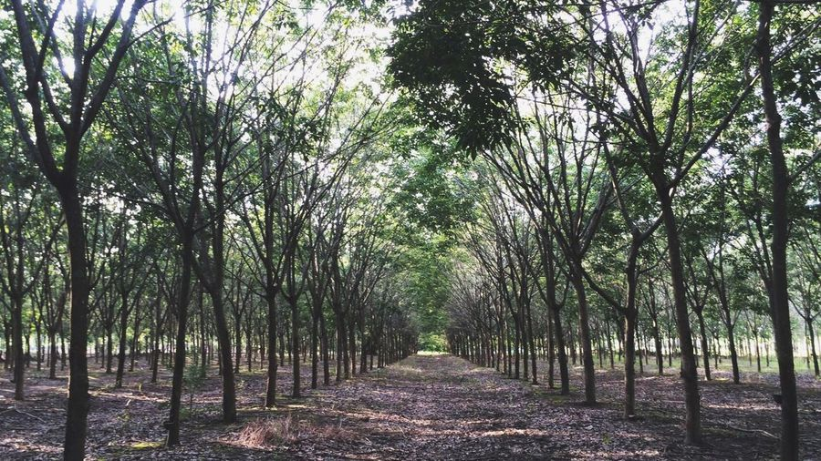 Rubber Farm in Thailand