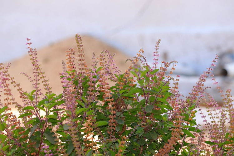 Tulsi or the holy basil flower with blurred leaves background, basil flower on nature background,