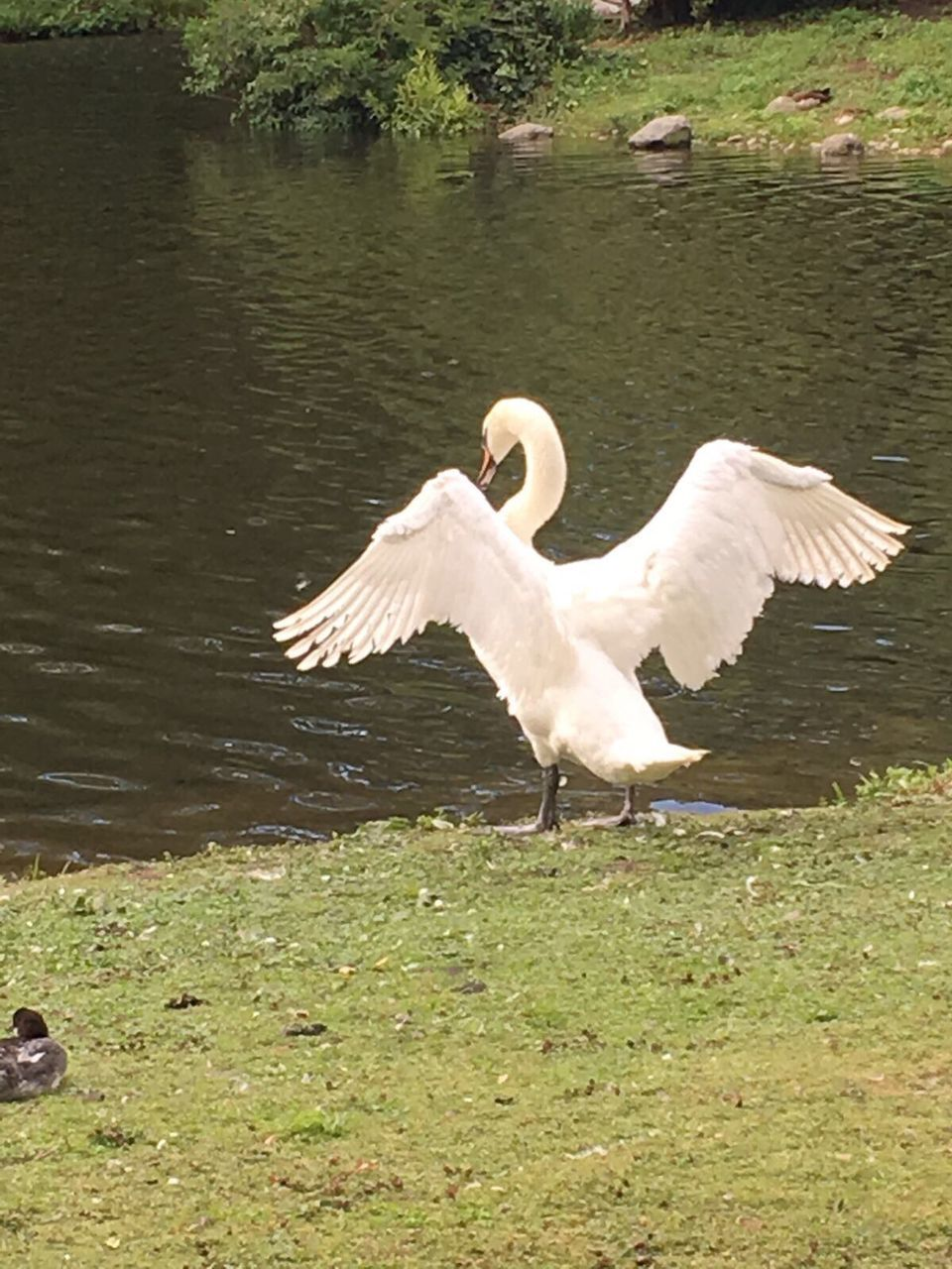bird, animal themes, animals in the wild, animal wildlife, white color, lake, nature, one animal, grass, day, water, outdoors, no people, spread wings, swan, tree, beauty in nature