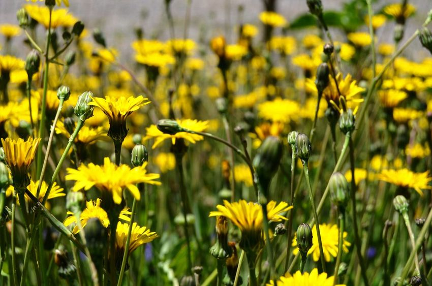 Springtime in the Catalan Countryside Inspiration Beautiful Beautiful Nature Nature Spring Springtime Yellow Flower Flowering Plant Plant Growth Freshness Field Beauty In Nature Fragility Vulnerability  Land Close-up No People Day Petal Focus On Foreground Selective Focus Outdoors Flowerbed