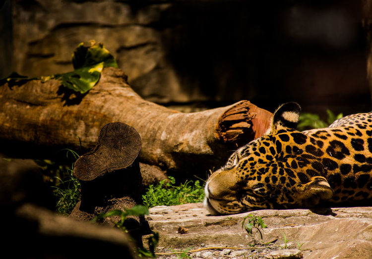 In the jungle when im in jugle the big cat sleeps tonight Animal Mammal Wood - Material Vertebrate Big Cat Nature Selective Focus No People Cat Animals In The Wild Animals In Captivity Tree Animal Wildlife Animal Themes Feline Relaxation One Animal Zoo Day