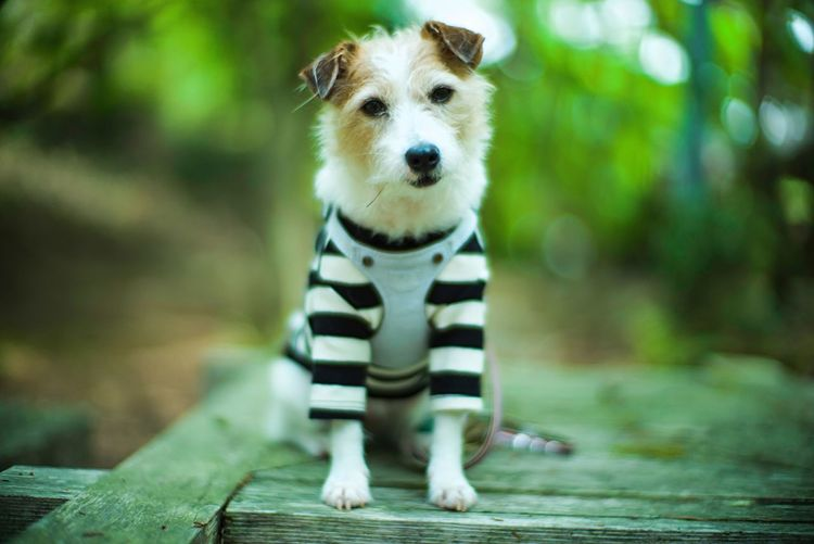 Bokeh Photography Bokeh Kinoko Jack Russell Terrier Jack Russell One Animal Animal Themes Animal Mammal Vertebrate Pets Canine Dog Domestic Domestic Animals Portrait Looking At Camera No People Focus On Foreground Animal Wildlife Pet Clothing Standing Looking Day