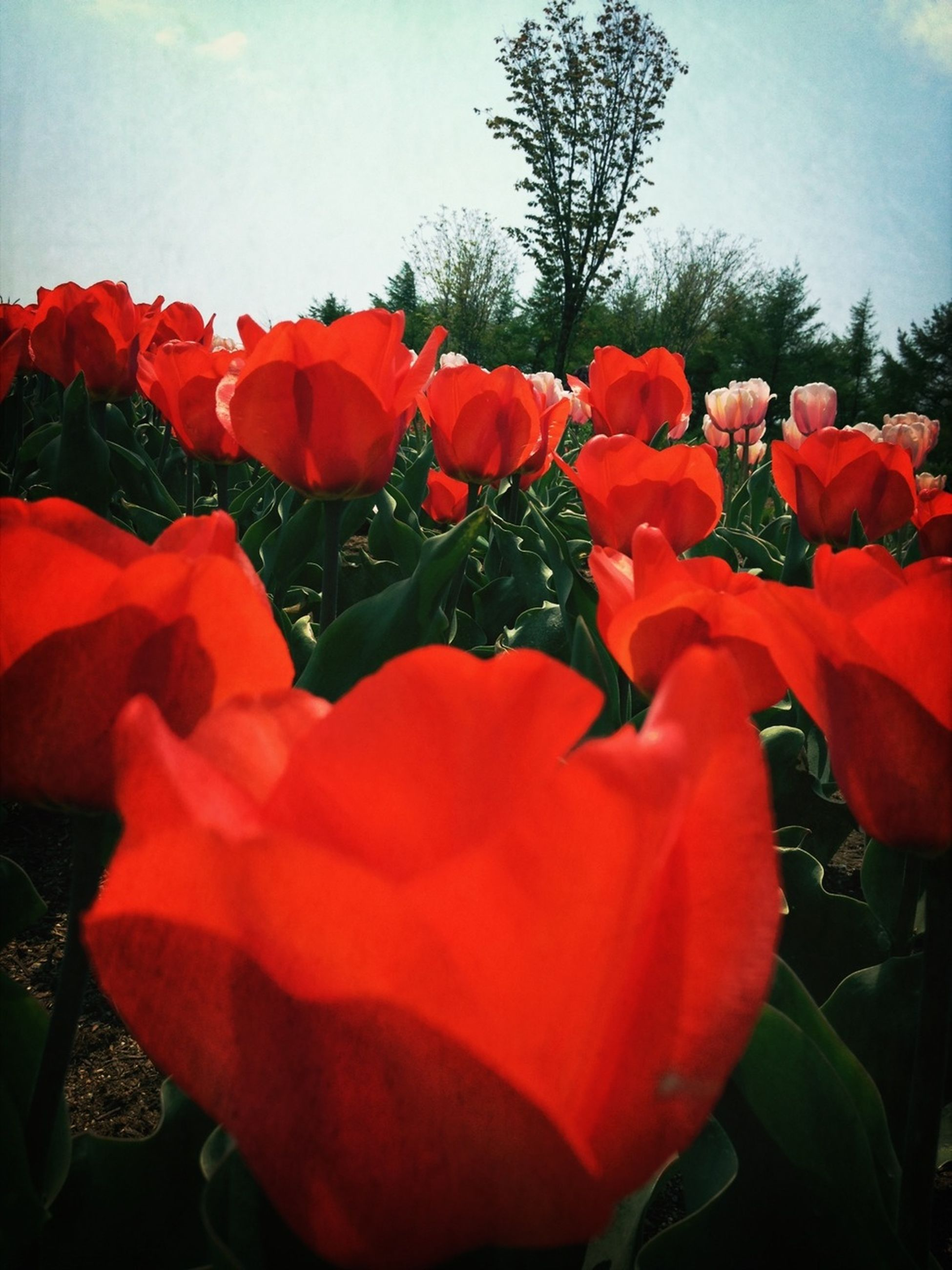 flower, red, petal, freshness, fragility, flower head, growth, beauty in nature, blooming, nature, tulip, plant, close-up, field, in bloom, sky, blossom, day, poppy, leaf