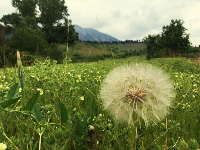 Growth Flower Nature Beauty In Nature Plant Field Fragility Outdoors Freshness Day No People Tranquility Sky Flower Head Close-up Mountain Grass Tree