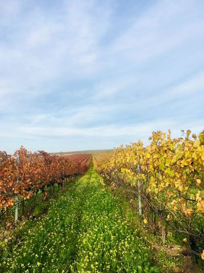 Autumn vineyard at south of Portugal Mediterranean  Colorful Portugal Alentejo 🌞 Plant Sky Beauty In Nature Growth Landscape Environment Land Cloud - Sky Scenics - Nature Tranquil Scene Field Vineyard Nature Agriculture Rural Scene