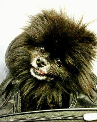 Pomeranian Dogslife Dogsofnyc
