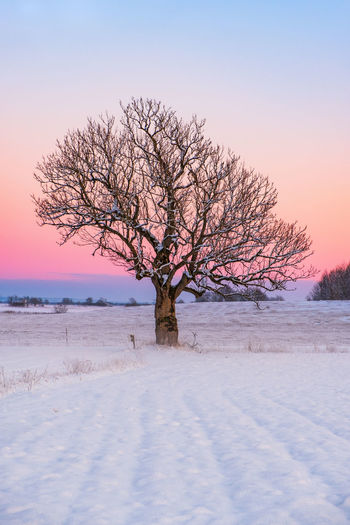 Bare tree on snow covered field during sunset