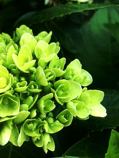 Green cluster Growth Leaf Plant Part Plant Green Color Beauty In Nature Close-up No People Flowering Plant Vulnerability  Fragility Outdoors Flower Head Nature Water