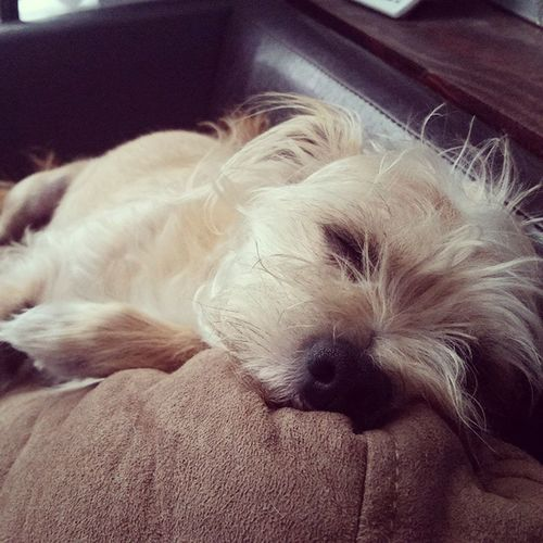 having the laziest of Saturdays. Stanleymuffins Sleepymuffins Yabum Chihuahuamix bichonmix dogs dogstagram dogsofinstagram instadog