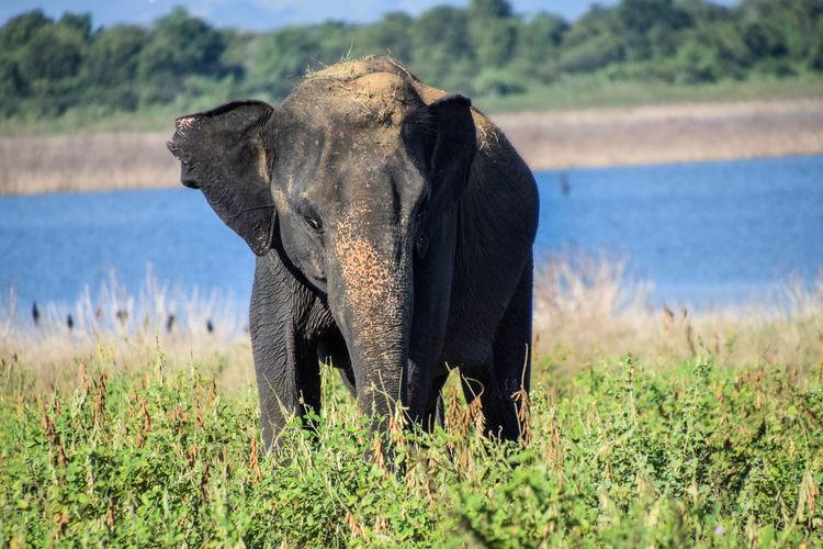 Elephant, Uduwale safari Asian Elephant Sri Lanka Elephant Safari Animals Animal Trunk Grass Savannah Wildlife Reserve Safari