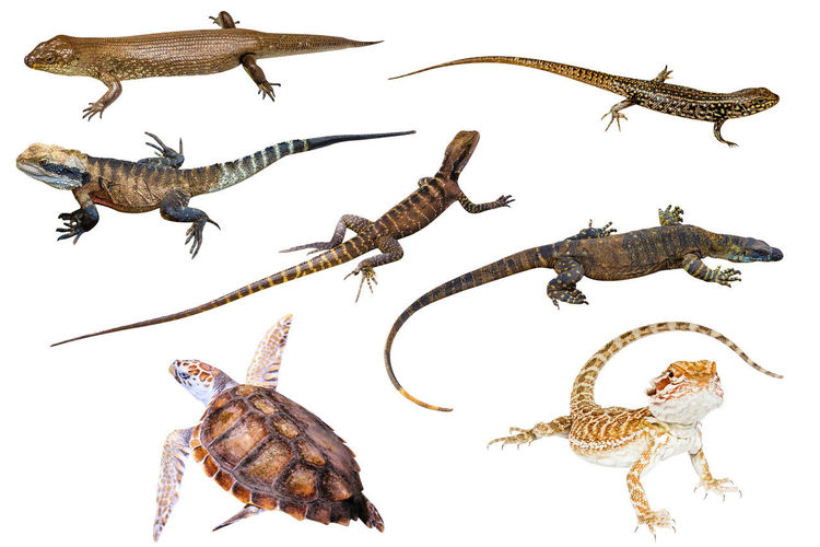 Collage of Australian reptiles, isolated on white background. King's skink, Eastern Water Skink, Water Dragon male and female, Komodo dragon, Green Sea Turtle and Pogona Vitticeps on white background. Isolated On White Animal Wildlife Australia Australian Animals Lizard Pogona Turtle Iguana Dragon Komodo Komodo Dragon Reptile Pogona Vitticeps King's Skink King's Skink Lizard Water Skink Skink Skink Lizard Squamata Snake White Background Animal Wildlife No People Animal Themes Group Of Animals Animals In The Wild Studio Shot Indoors  Close-up Cut Out Vertebrate Nature Insect Fish Invertebrate Animal Shell Sea Marine