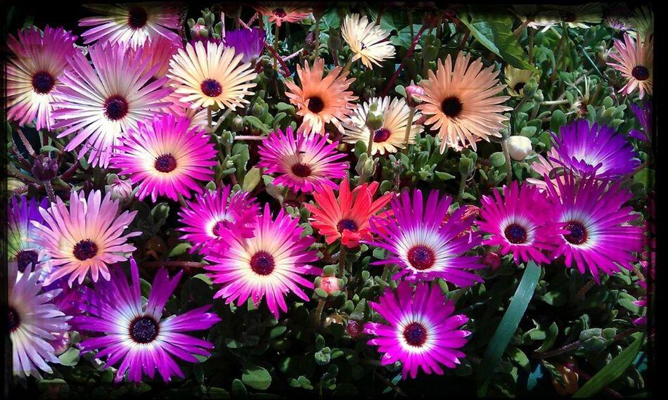 Summer Flowers Livingstone Daisies