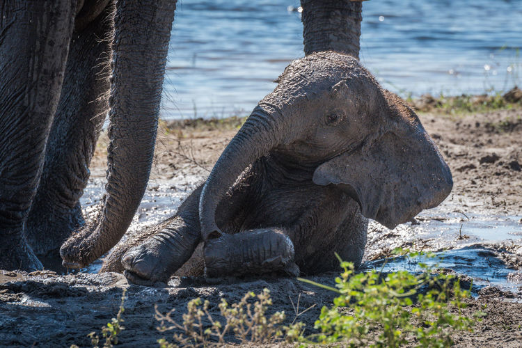 Elephant calf relaxing in mud