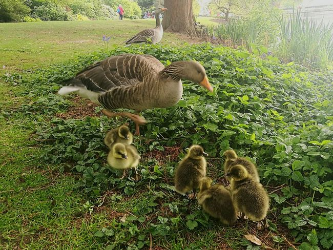 Geese In Nature Geese Baby Geese Geese Babies Baby Bird🐣 Baby Birds Smartphone Photography P9 Huawei Birds Family Geese Family Goose Nature Young Bird Togetherness Outdoors Day Spring Spring Day Springtime Outdoor Scene Spring Babies Park - Man Made Space Geese At The Lake Spring Photography