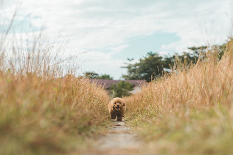 Brown poodle puppy running on the field