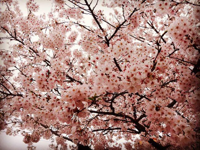 Japan Photography Sakura Sakura Trees