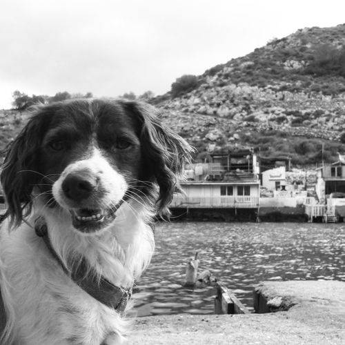 Rocco our Brittanyspaniel at Algemeca Chica Cartagena Spain Cartagena SPAIN Dogs Of EyeEm Dogs Dogslife Blackandwhite Photography Black And White Bnw_maniac Monochrome_life Bnw_collection Monochromatic Black & White Brittanyspaniels Rescuedog