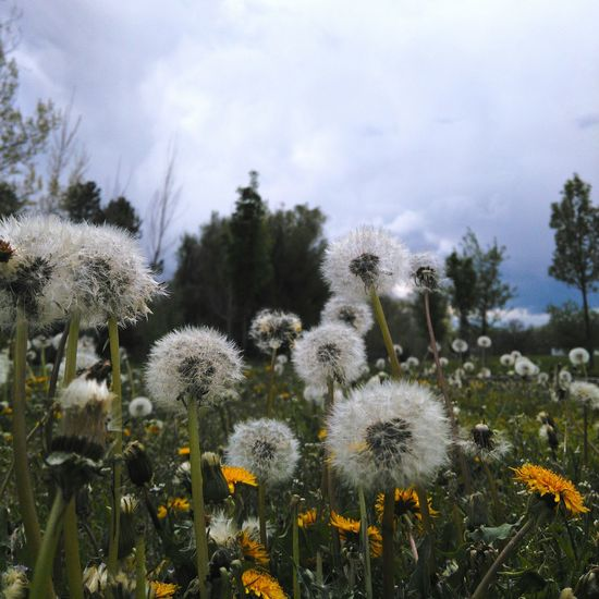 Dandylion Dandy Allergies Close-up Flowers,Plants & Garden Weeds Are Beautiful Too Landscape Fluffy