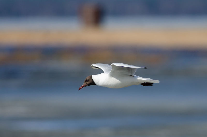 Black-headed Gull Copy Space Animal Themes Animals In The Wild Seagull Nature Side View Outdoors Flying Animal Wildlife Bird Animal One Animal No People Black-headed Gull Sweden Lake Hornborga
