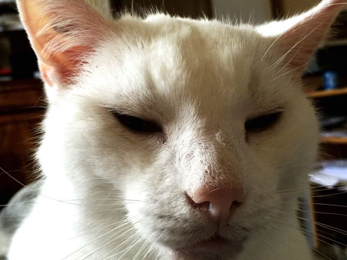 Sarko-Chat 12 ans, en pleine réflexion philosophique... Chat Cat White Blanc Beauty France Amour Love Sarko-Chat Old Cat