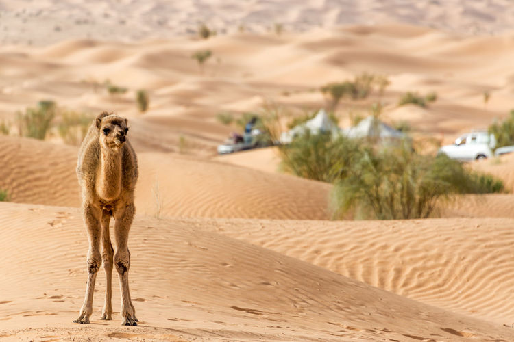 Camel standing on sand