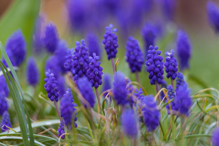 grape hyacinth Flowering Plant Flower Plant Vulnerability  Growth Fragility Beauty In Nature Freshness Close-up Purple No People Nature Petal Selective Focus Day Flower Head Grape Hyacinth Blue Hyacinth Lavender Field Outdoors Bunch Of Flowers