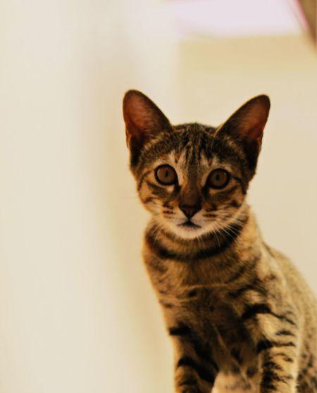 Cat Mammal Pets