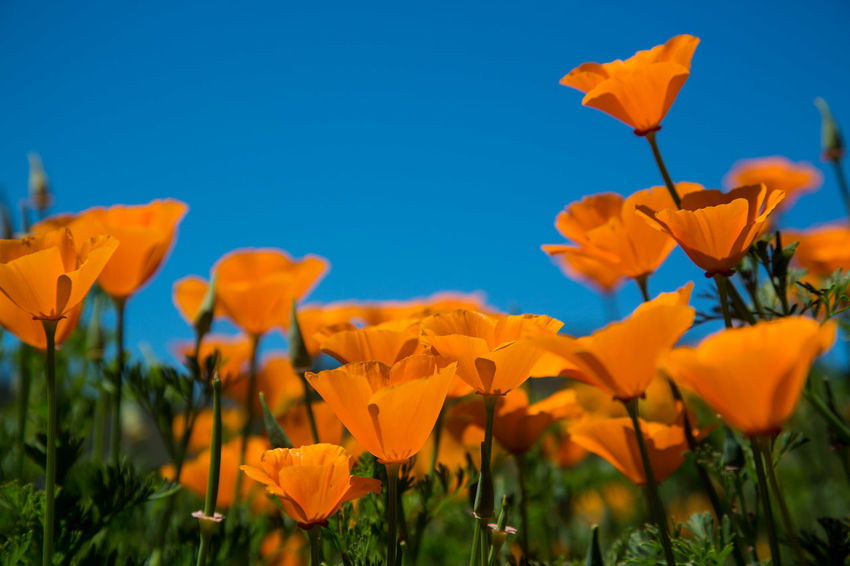 Beauty In Nature Blooming Blossom Blue Botany California Poppies Close-up Day Field Flower Flower Head Focus On Foreground Fragility In Bloom Nature No People Orange Color Outdoors Petal Plant Poppy Sky Stem Yellow