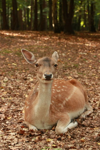 Deer Animal Animal Themes Animal Wildlife Animals In The Wild Close-up Day Focus On Foreground Forest Forest Photography Forestal Creatures Looking At Camera Mammal Nature No People One Animal Outdoors Portrait Tree Young Animal Pet Portraits