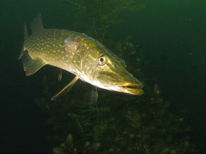 Pike Northern Pike Sweetwater Lake Animal Animal Themes Animal Wildlife Sea Animals In The Wild Water Underwater Sea Life Marine Nature UnderSea No People Fish Vertebrate Swimming One Animal Close-up Glass - Material Transparent Animal Scale