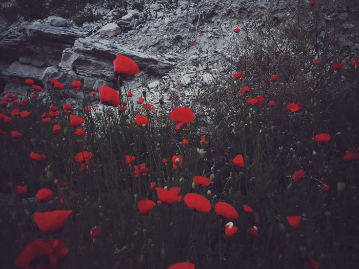 Poppies Plant