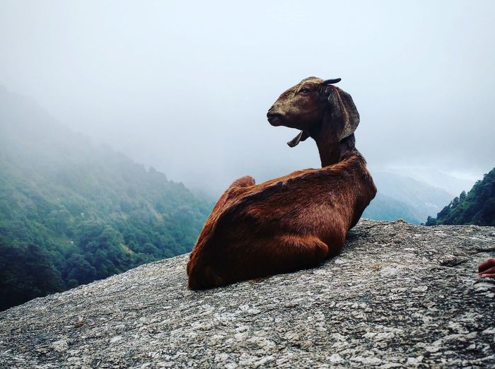 Goat relaxing on rock during foggy weather