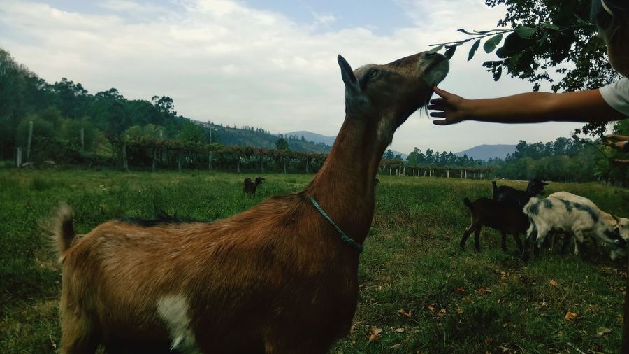 Cropped hand by goat on field