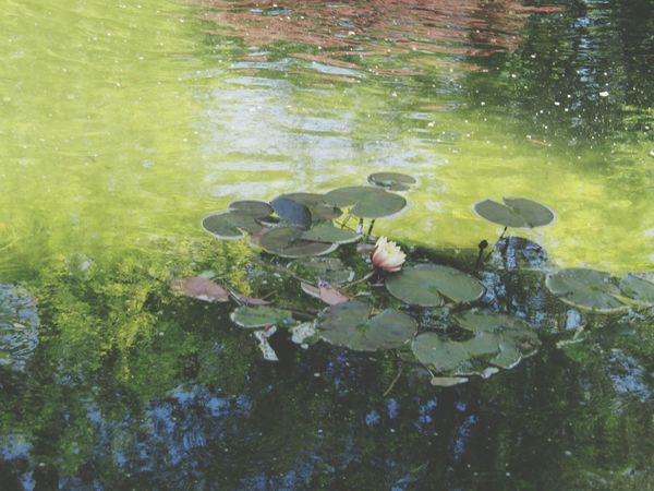 Lilypads Flower Like A Painting Showcase April