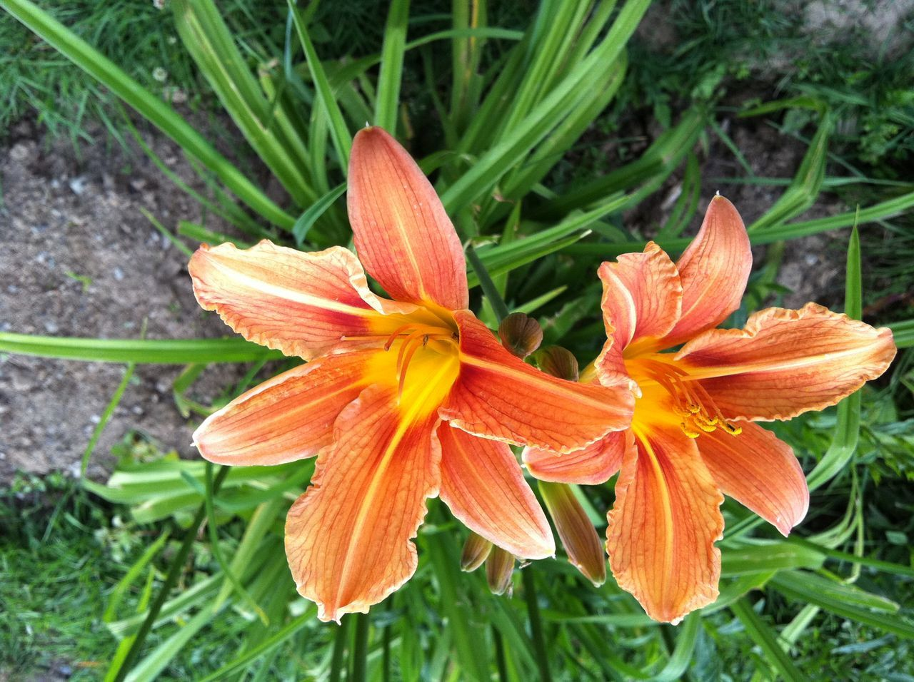 flower, growth, petal, fragility, nature, freshness, flower head, beauty in nature, orange color, plant, outdoors, blooming, close-up, day, day lily, no people