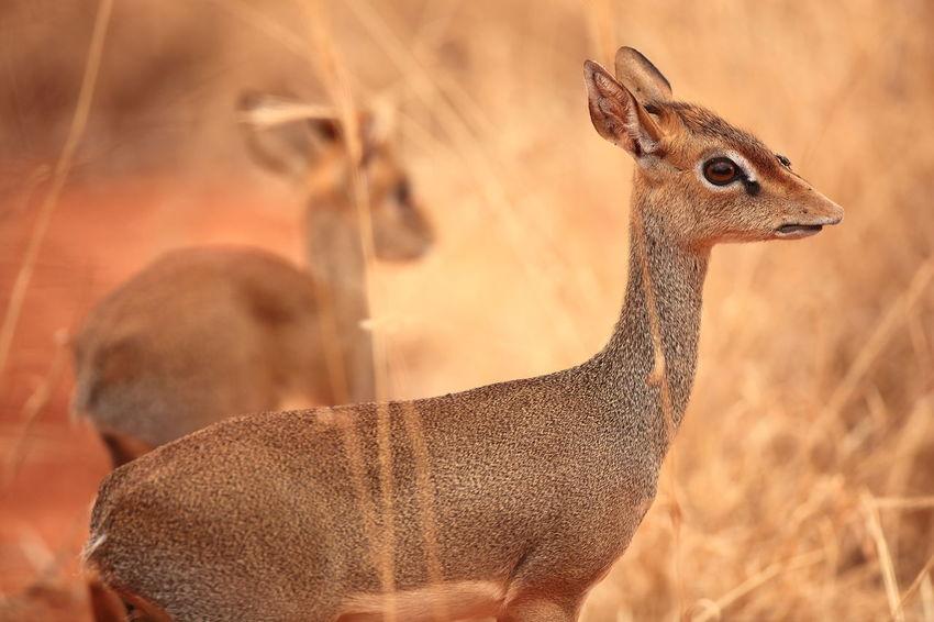 Tsavo west NP, Kenya Africa Animal Behavior Animal Eye Animals In The Wild Attentiveness Brown Dik Dik Focus On Foreground National Parks Kenya Safari Animals Together Tsavo West Wildlife
