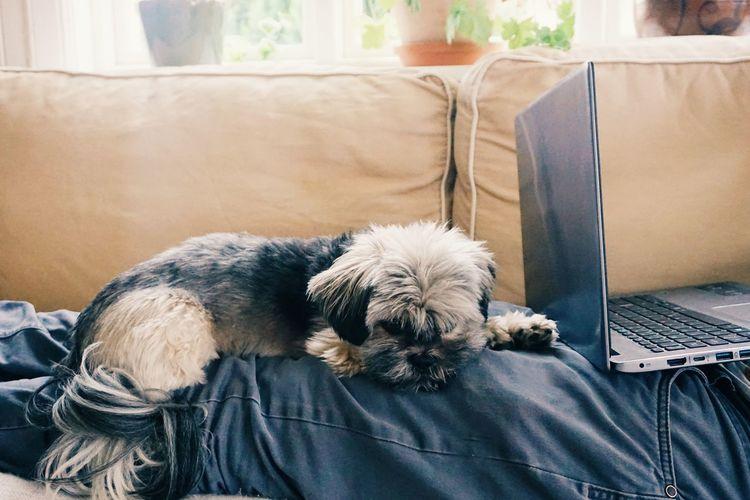 Dog sleeping on a person at a sofa at home