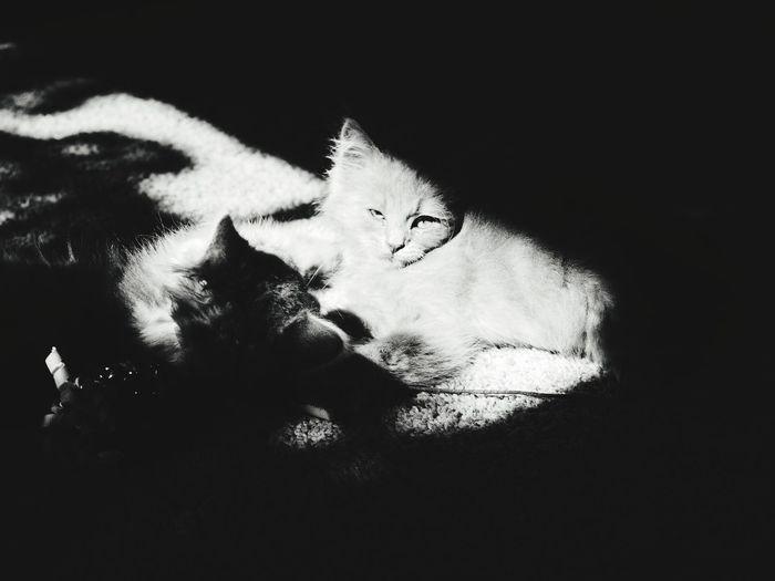 Pets Portrait Feline Domestic Cat Friendship Looking At Camera Kitten Black Background Close-up Cat Sleepy Yellow Eyes