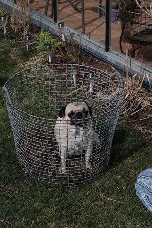 New kennel? 😃 Taking Photos Garden Kennel Hundgård Pug Puglife Dog Mops Hund Fun