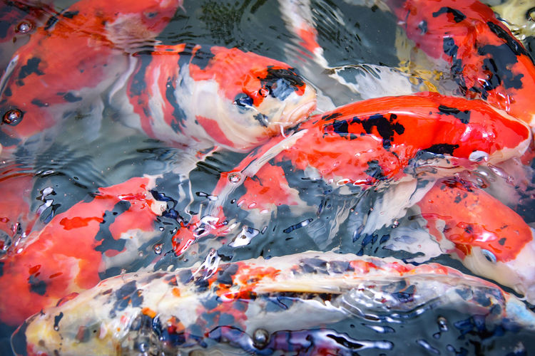 Koi carps swimming in lake