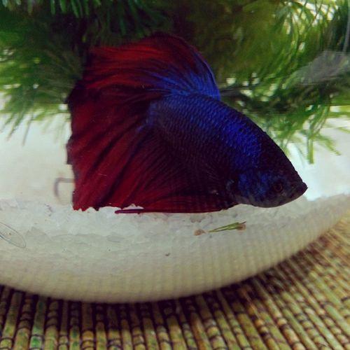 Beta fish Swagfish Bluered Beta Sleepy