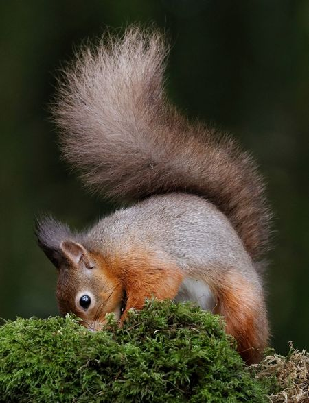 Red Squirrel Galloway Forest Park Rare Wildlife Cute Wild Animal Redsquirrel Red Squirrels Red Squirrel Wild Wildlife Wildlife & Nature Wildlife Photography Wildlifephotography Wildlife Photos Wildlife And Nature Galloway Scotland Britishwildlife Close-up Rodent Squirrel Animal Hair Tail Rearing Up 50 Ways Of Seeing: Gratitude