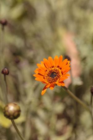 Orange cosmos daisy, Cosmos sulphureus, flower bud blooms in a garden in summer. Animal Themes Close-up Cosmos Daisy Cosmos Sulphureus Daisy Day Flower Freshness Garden Nature No People Orange Flower Outdoors Plant