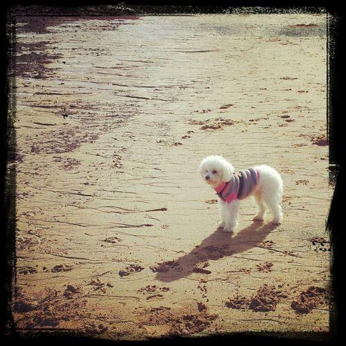 Rocco Beach Playa Mascotas Perro Poodle Caniche Poodletoy
