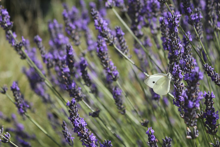 Animals Butterfly Close-up Flowers Garden Insects  Lavender Macro Nature Purple