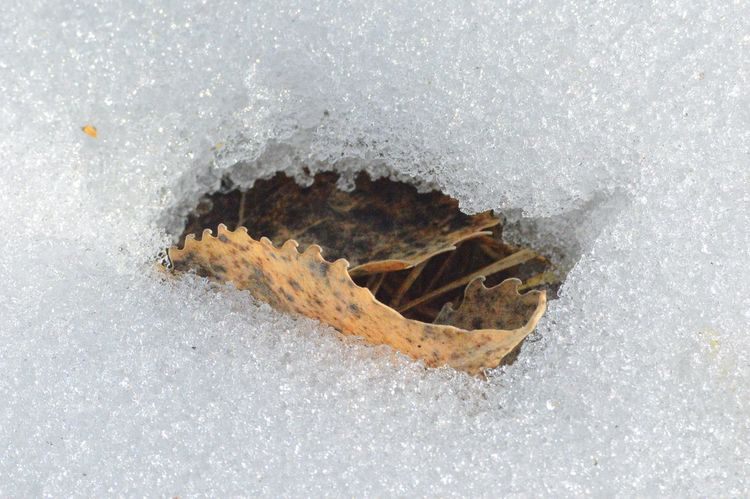 Snow thaw close to leaf Ground Nature Thawing Melting Curled Brown Leaf  Snow Outdoors Winter Close Up Cold Temperture Wintertime